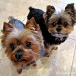 Cesar Cookie Crunchies; Yummy Treats For Small Dogs