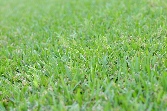 Green Florida Grass